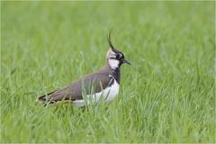 Kiebitz (Vanellus vanellus) -- Kiebitz (Vanellus vanellus)