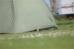 Europäischer Ziesel (Spermophilus citellus) -- Europäischer Ziesel (Spermophilus citellus)