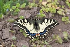 Schwalbenschwanz (Papilio machaon) -- Schwalbenschwanz (Papilio machaon)