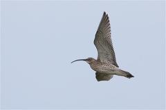 Großer Brachvogel (Numenius arquata) -- Großer Brachvogel (Numenius arquata)