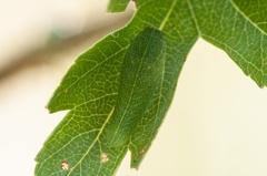 Segelfalter Raupe (Iphiclides podalirius) -- Segelfalter Raupe (Iphiclides podalirius)