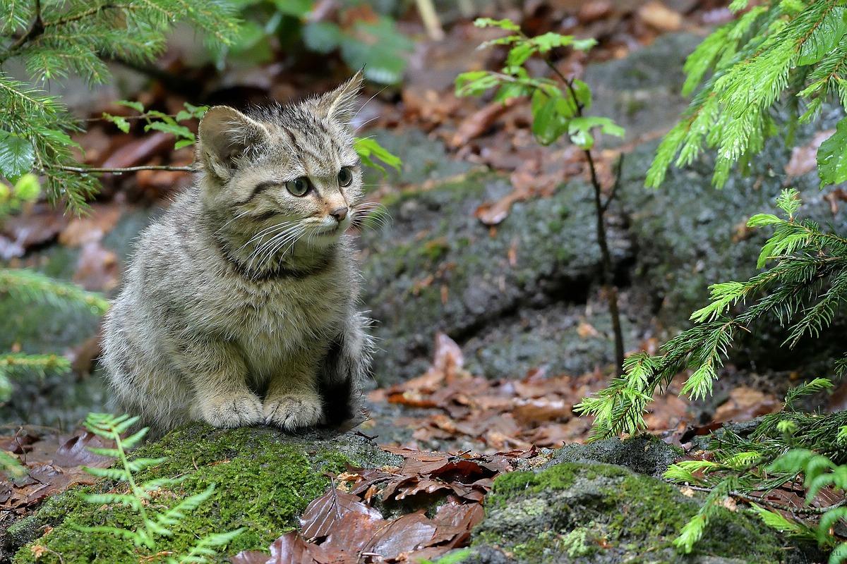 Junge Wildkatze - Tierfreigehege