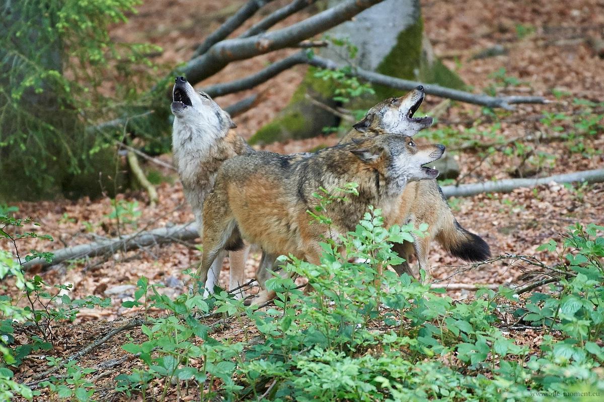 Heulende Wölfe - Tierfreigehege