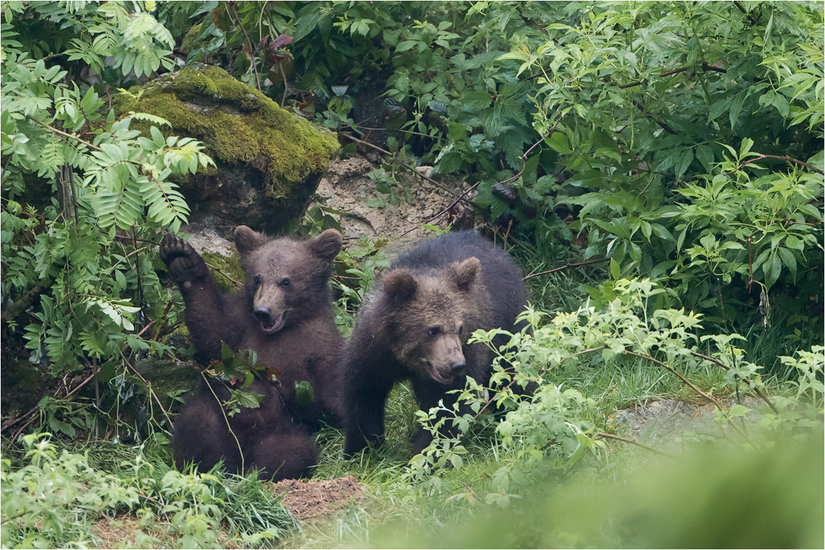 Junge Braunbären beim Spielen - Tierfreigehege