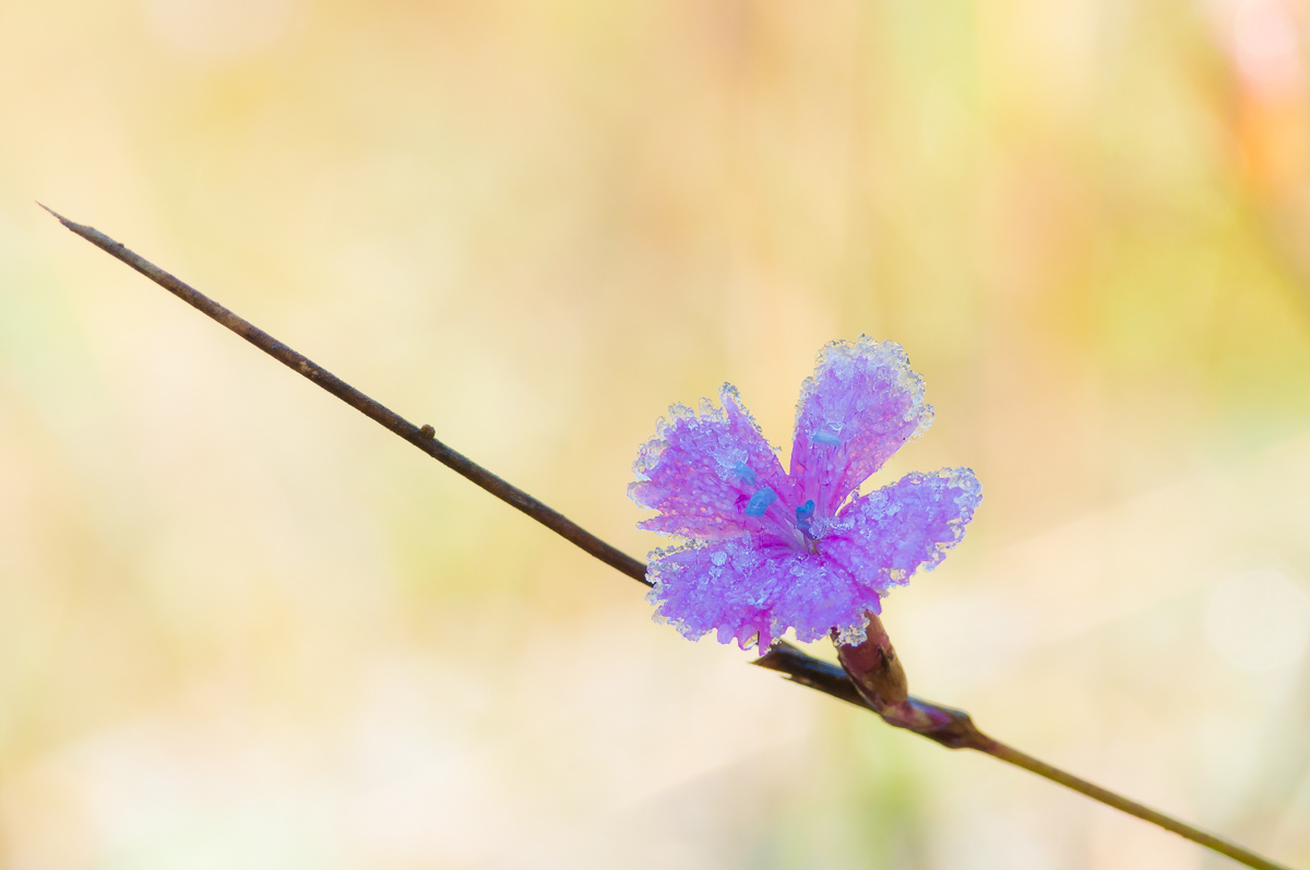 Kartäusernelke (Dianthus carthusianorum)