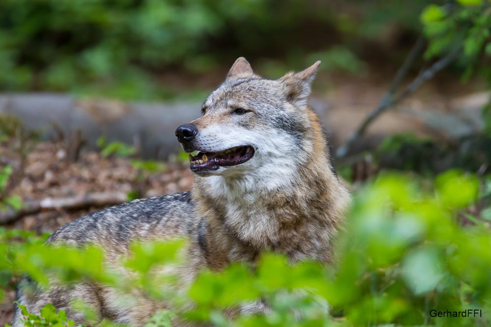 Wolf im Gebüsch - Tierfreigehege